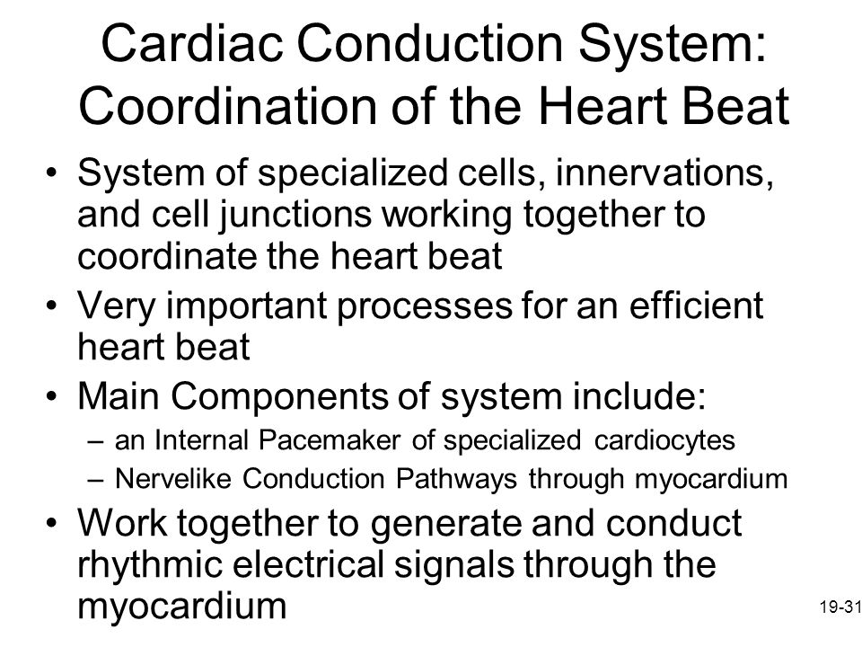 Cardiac Conduction System: Coordination of the Heart Beat