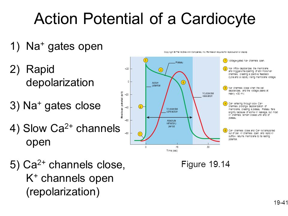 Action Potential of a Cardiocyte