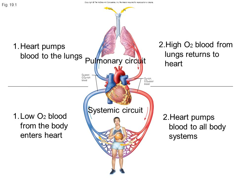High O2 blood from lungs returns to heart