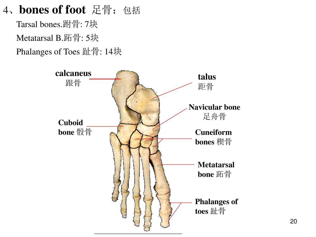 The bones of limbs 四肢骨. - ppt video online download Tarsal