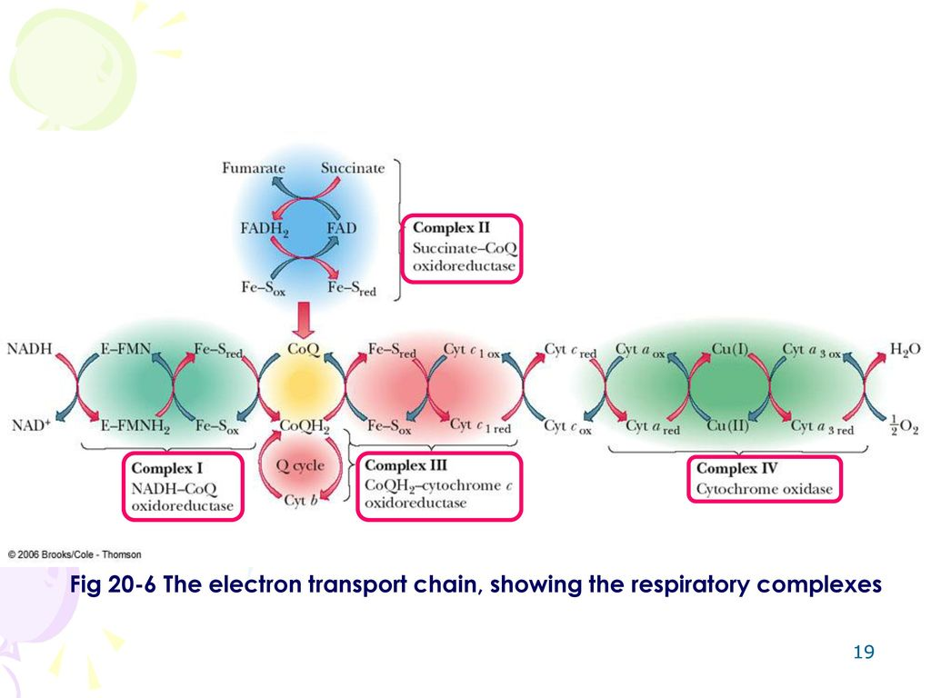 Chapter 18 oxidative phosphorylation ppt video online download 19 fig 20 6 the electron transport chain showing the respiratory complexes pooptronica Choice Image