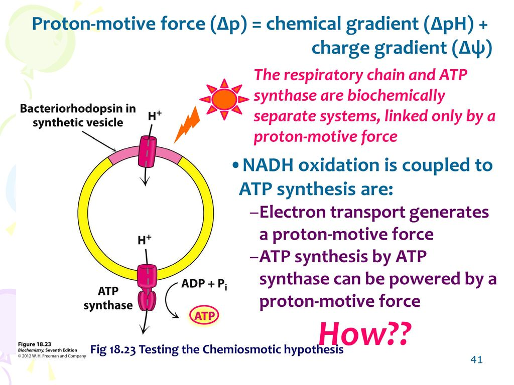 Chapter 18 oxidative phosphorylation ppt video online download 41 proton motive pooptronica Choice Image