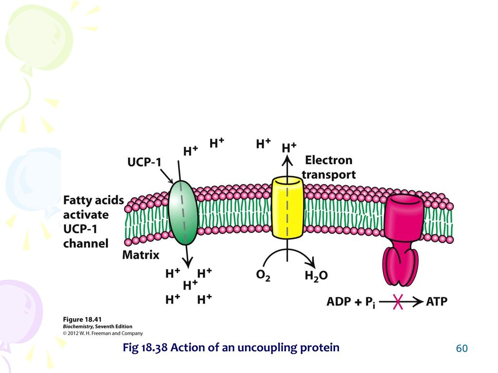 Chapter 18 oxidative phosphorylation ppt video online download 60 fig 1838 action of an uncoupling protein pooptronica Choice Image