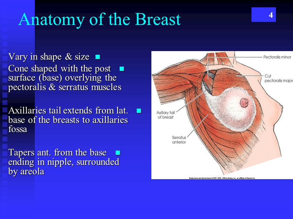 Anatomy of a nipple