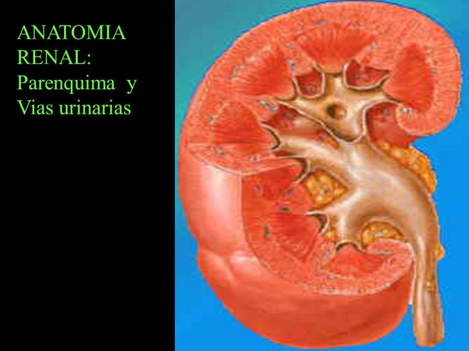 ANATOMIA RENAL: Parenquima y Vias urinarias A