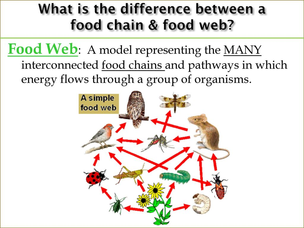 What is a Food Chain and a Food Web?