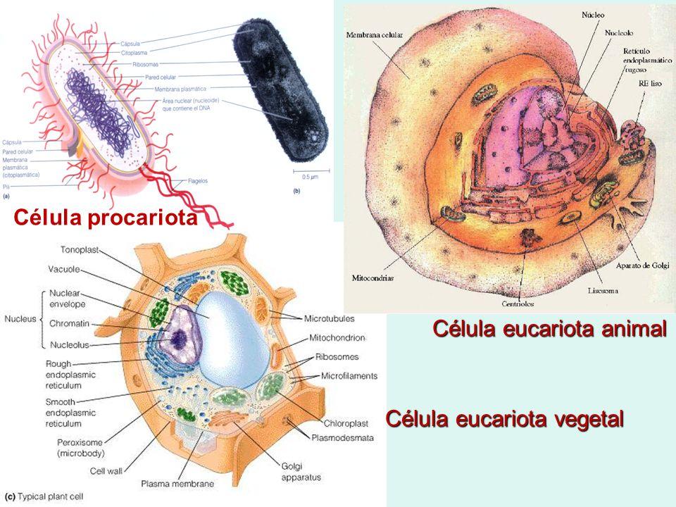Célula eucariota animal