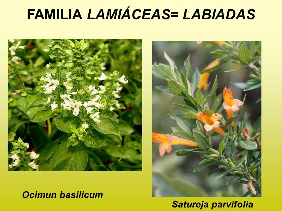 FAMILIA LAMIÁCEAS= LABIADAS