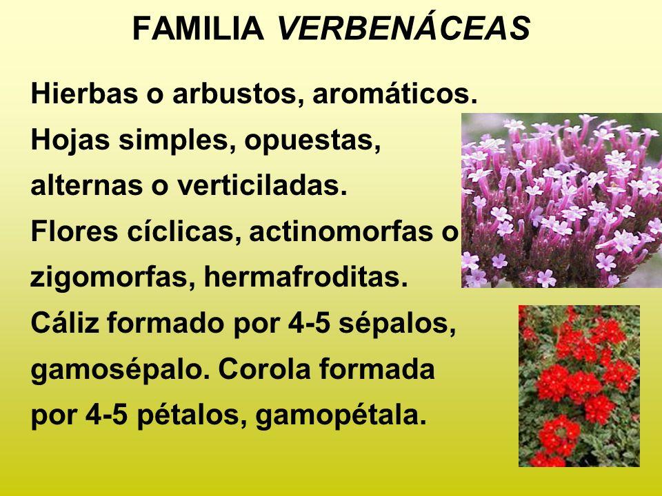 FAMILIA VERBENÁCEAS Hierbas o arbustos, aromáticos.