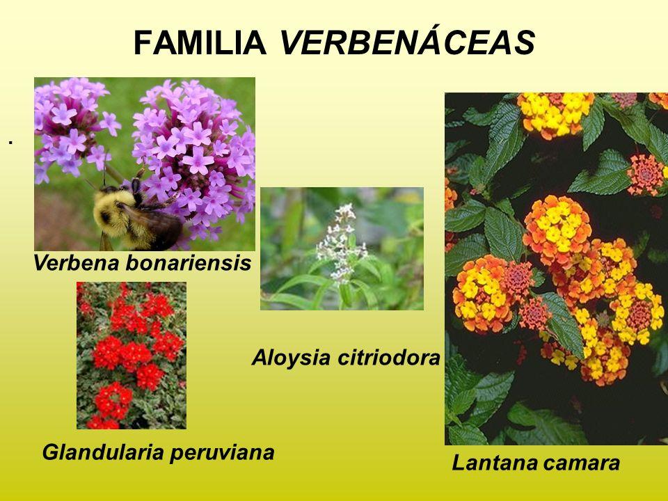 FAMILIA VERBENÁCEAS . Verbena bonariensis Aloysia citriodora