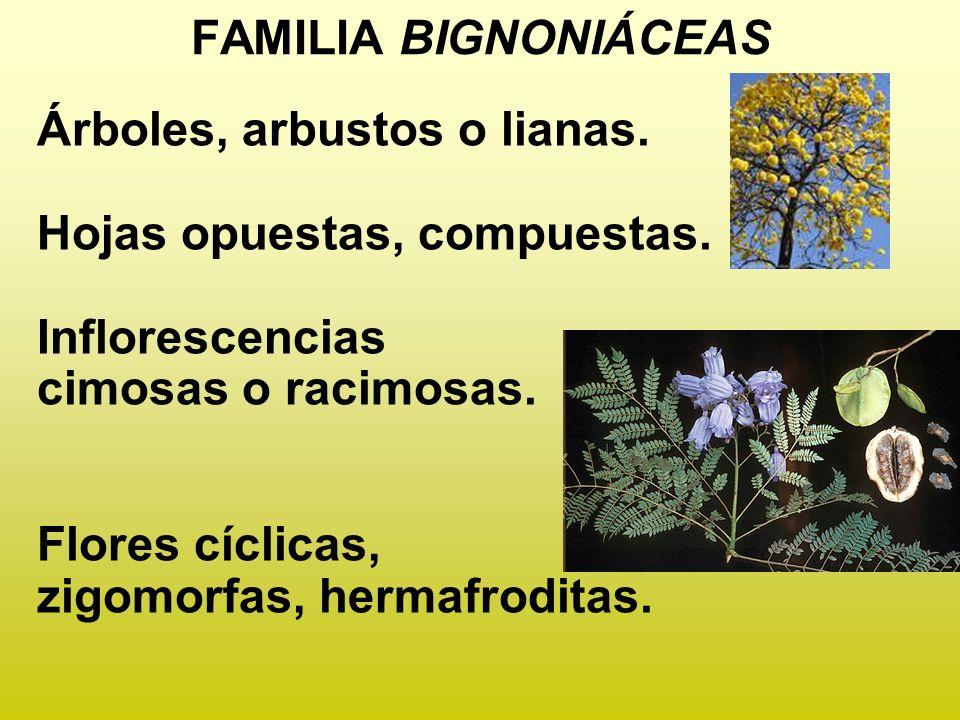 FAMILIA BIGNONIÁCEAS Árboles, arbustos o lianas. Hojas opuestas, compuestas. Inflorescencias. cimosas o racimosas.