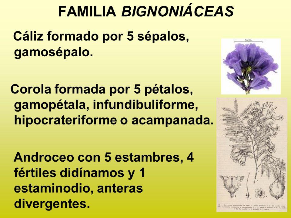 FAMILIA BIGNONIÁCEAS Cáliz formado por 5 sépalos, gamosépalo.