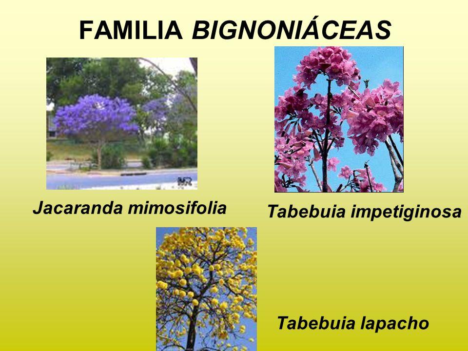 FAMILIA BIGNONIÁCEAS Jacaranda mimosifolia Tabebuia impetiginosa