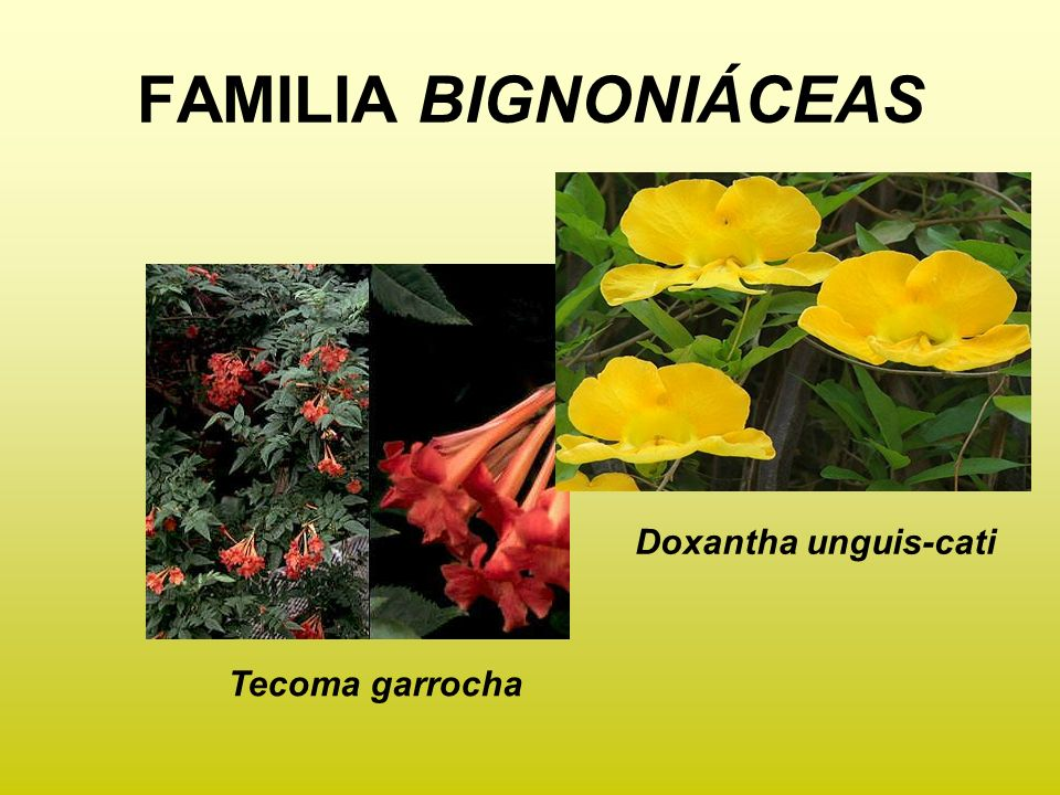 FAMILIA BIGNONIÁCEAS Doxantha unguis-cati Tecoma garrocha