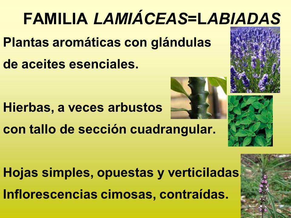FAMILIA LAMIÁCEAS=LABIADAS