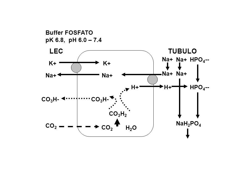 LEC TUBULO Buffer FOSFATO pK 6.8, pH 6.0 – 7.4 HPO4-- K+ Na+ H+ CO3H-