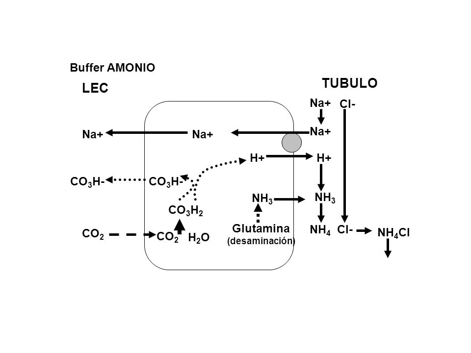 TUBULO LEC Buffer AMONIO Cl- Na+ H+ CO3H- NH3 CO3H2 Glutamina NH4 CO2