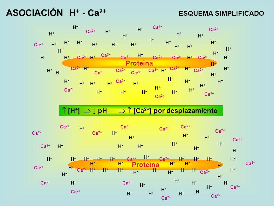 ASOCIACIÓN H+ - Ca2+ ESQUEMA SIMPLIFICADO Proteína