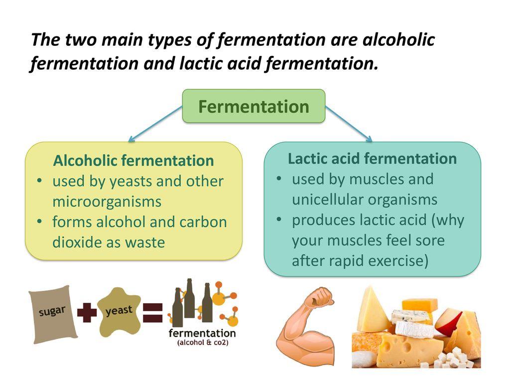 lactic acid and alcoholic fermentation venn diagram - Selo.l-ink.co