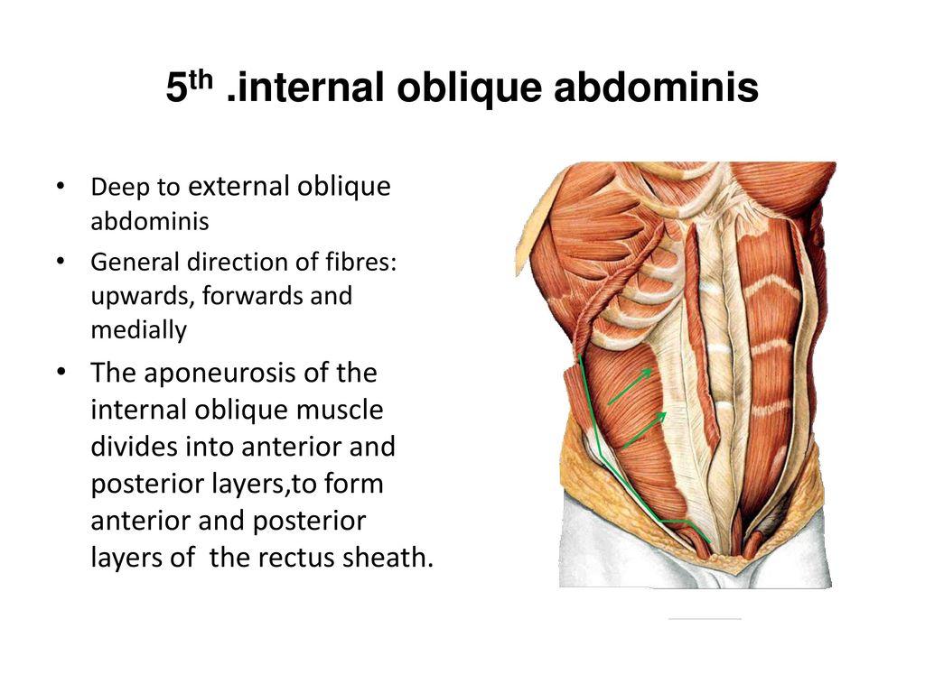 The abdomen anatomy