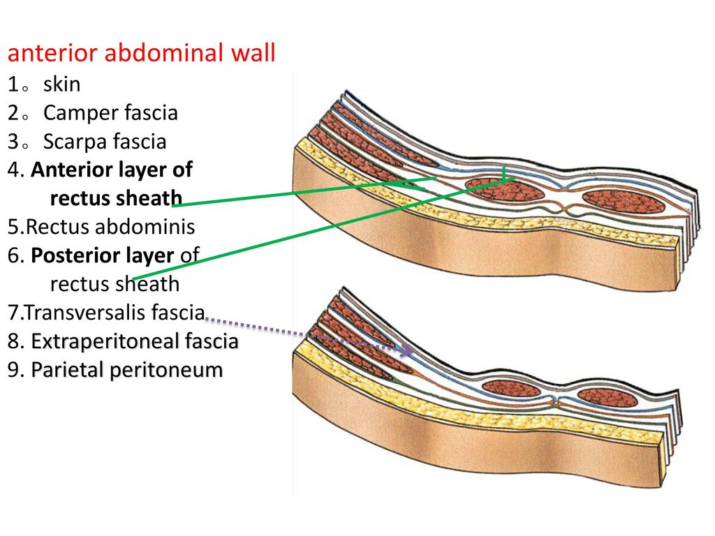 Anatomy of anterior abdominal wall