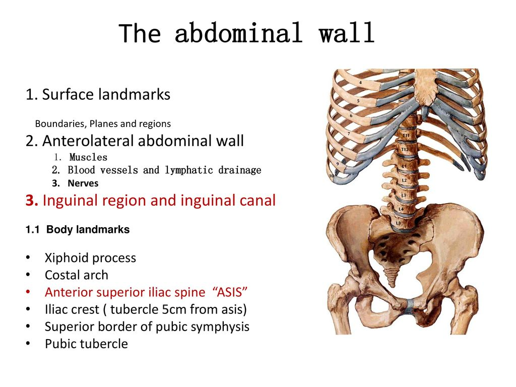 Abdomen surface anatomy