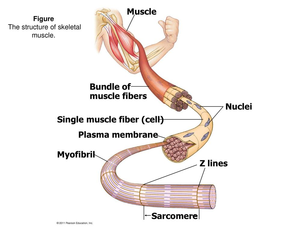 Human anatomy and physiology chapter 9 7e marieb muscles and muscle ...