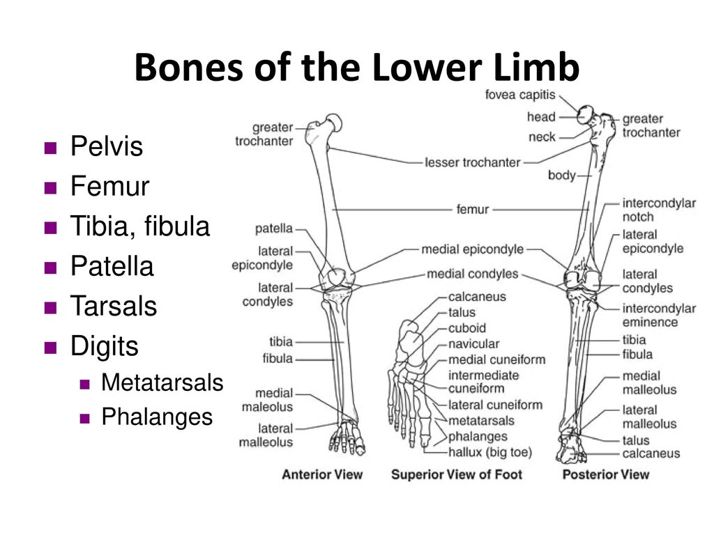 anatomy of the lower limb