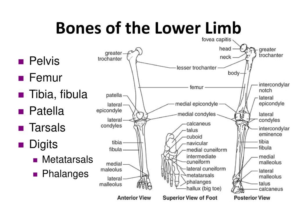 Tibial plafond anatomy