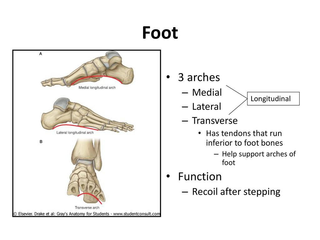 which bones form the arch of the foot - Timiz.conceptzmusic.co