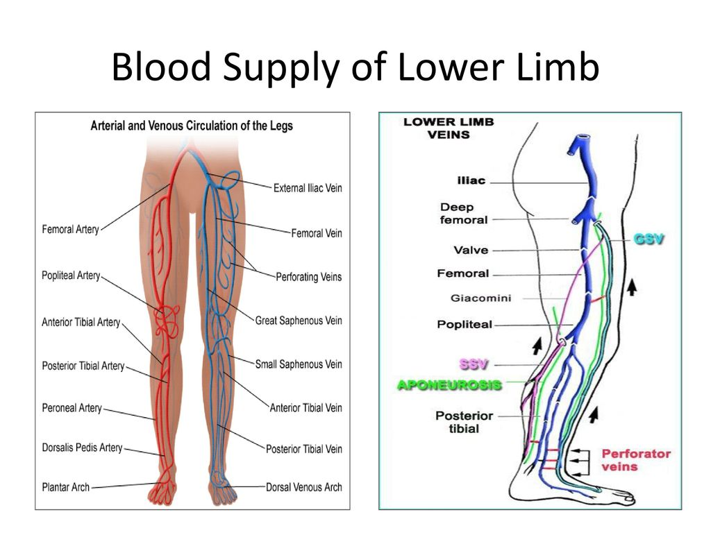 Lower extremity veins anatomy 5777317 - follow4more.info