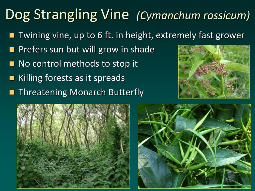 What Can Stop The Dog Strangling Vine