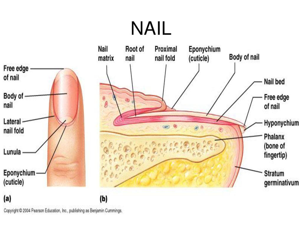 Anatomy of nail 1912763 - follow4more.info