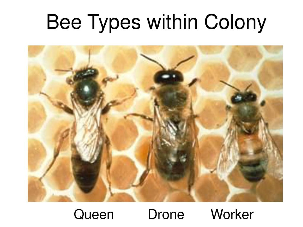 Types of bees