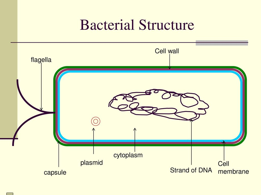 Monera Eg Bacteria Ppt Download Cells In The Kingdom Example Are Prokaryotes Did 12 Bacterial Structure Cell