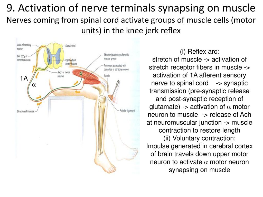 Modern Upper Motor Neuron Anatomy Illustration Anatomy And