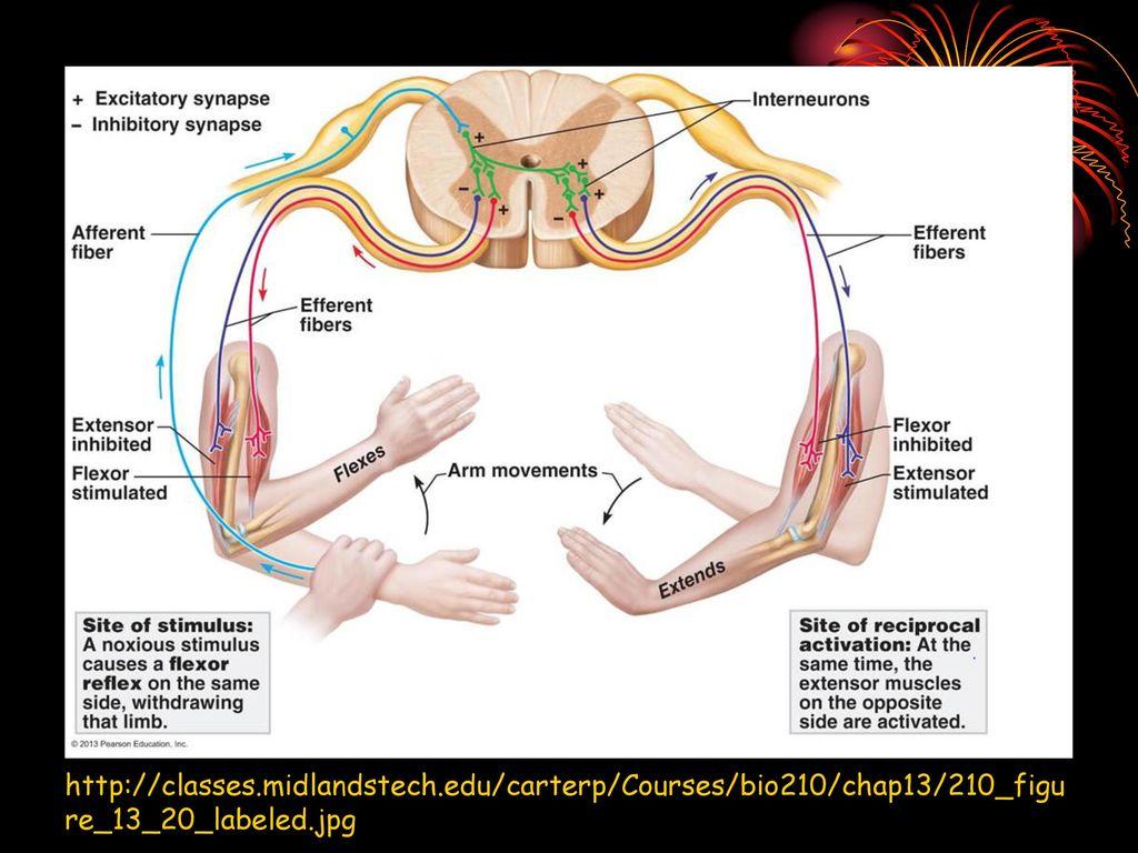 The Human Nervous System - ppt video online download