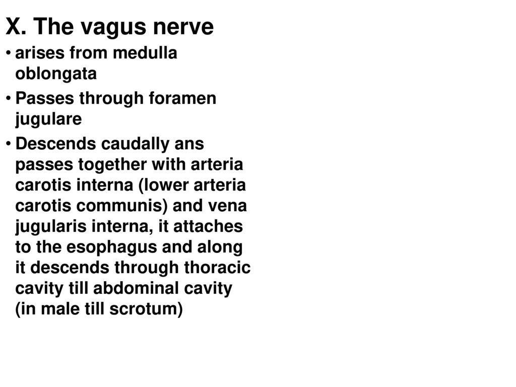 Atemberaubend Intrakraniellen Arteria Carotis Interna Anatomie Ideen ...
