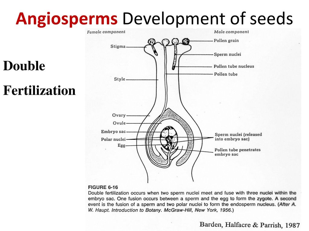 Introductory plant biology ppt download 12 angiosperms development of seeds pooptronica