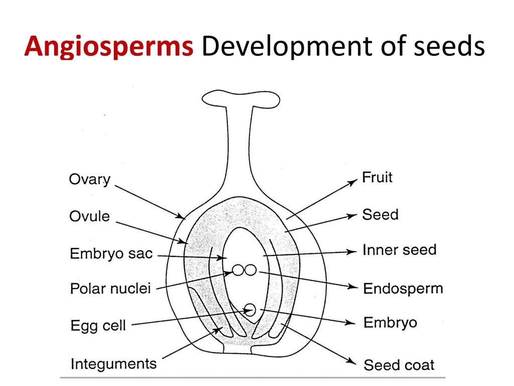 Introductory plant biology ppt download 20 angiosperms development of seeds pooptronica