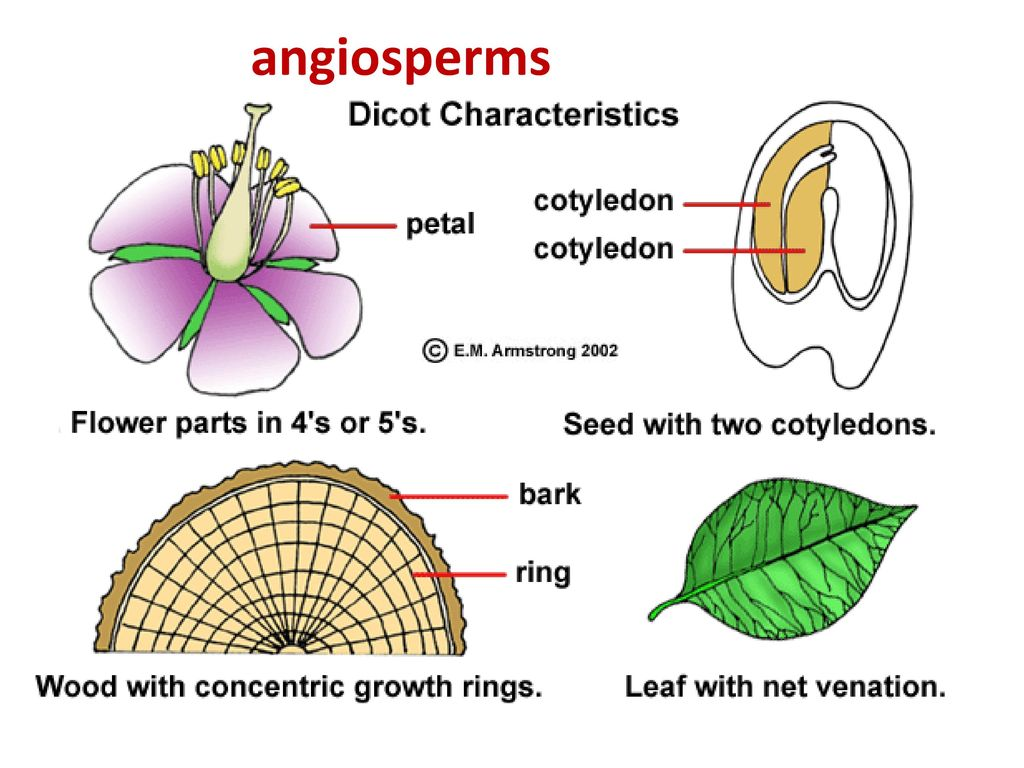 Introductory plant biology ppt download angiosperms pooptronica