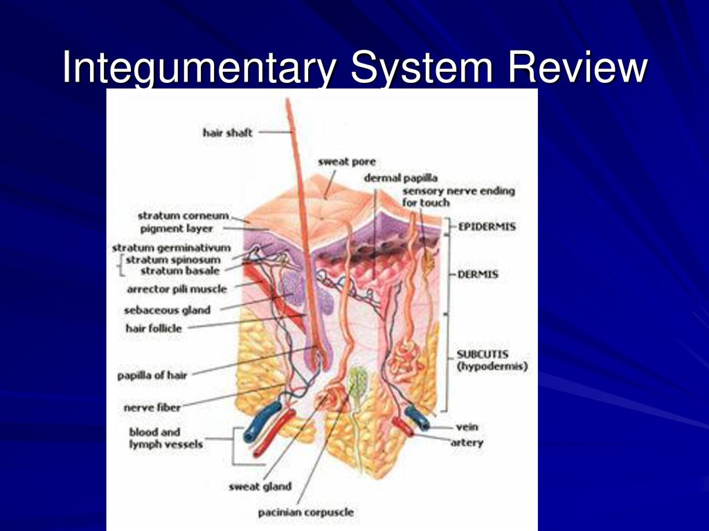 Niedlich Anatomy And Physiology Integumentary System Review Fotos ...