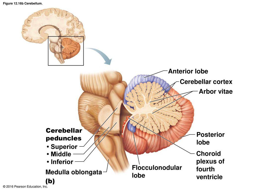 Único Arbor Vitae Anatomía Colección de Imágenes - Anatomía de Las ...