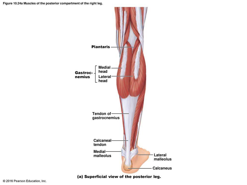 Schön Muscles In Thigh Anatomy Fotos - Anatomie Ideen - finotti.info