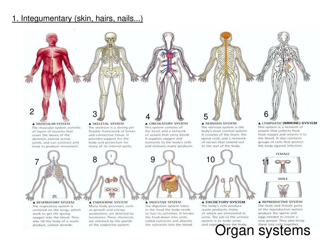 Excepcional Anatomy And Physiology Skin Model Galería - Anatomía de ...