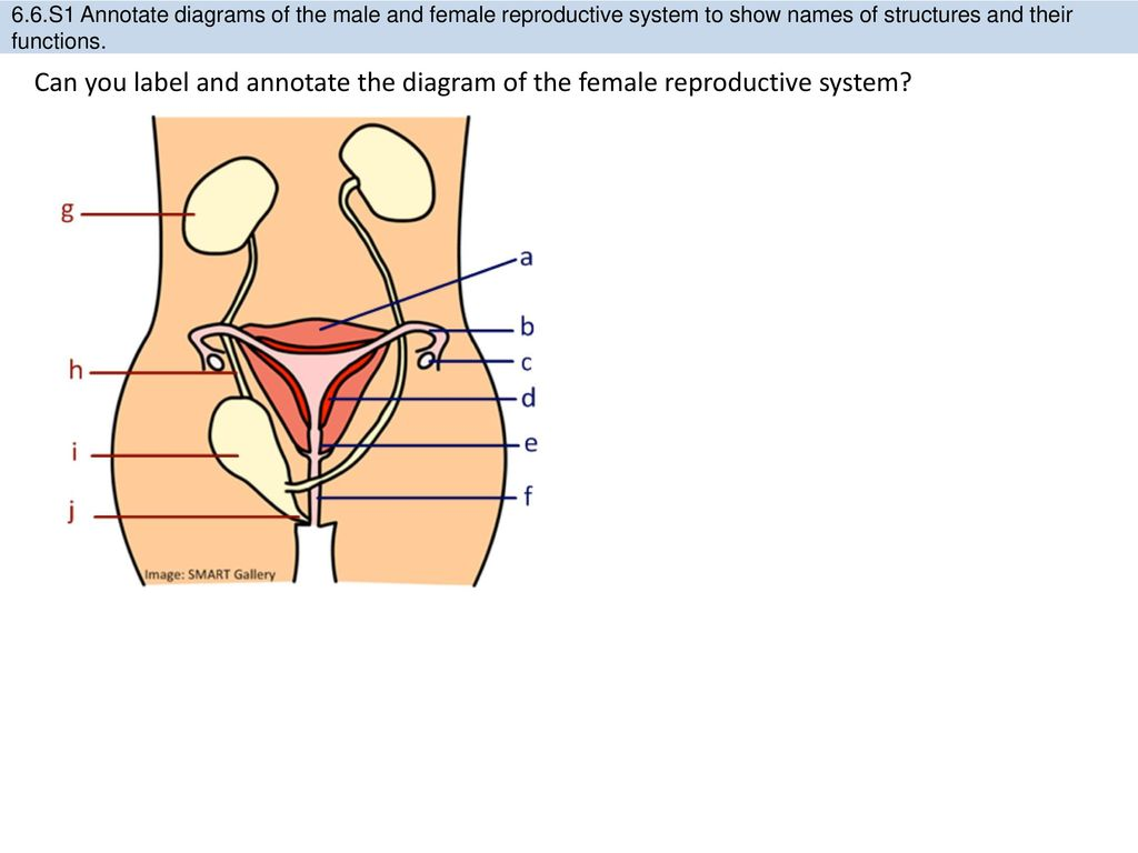 66 hormones homeostasis and reproduction ppt download s1 annotate diagrams of the male and female reproductive system to show names of ccuart Choice Image