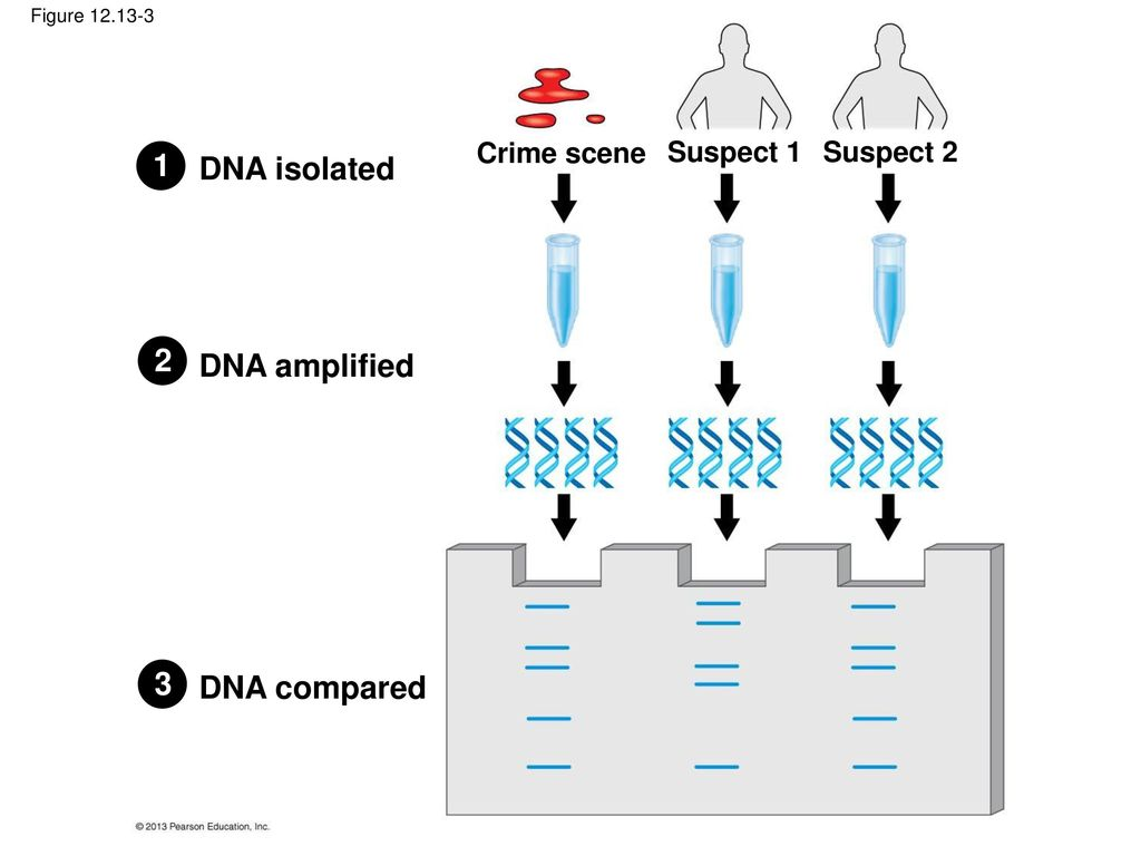 isolated dna products amplified via polymerase Polymerase chain reaction  the technique allows a small amount of dna to be amplified exponentially  the dna polymerase can be present at initialization,.
