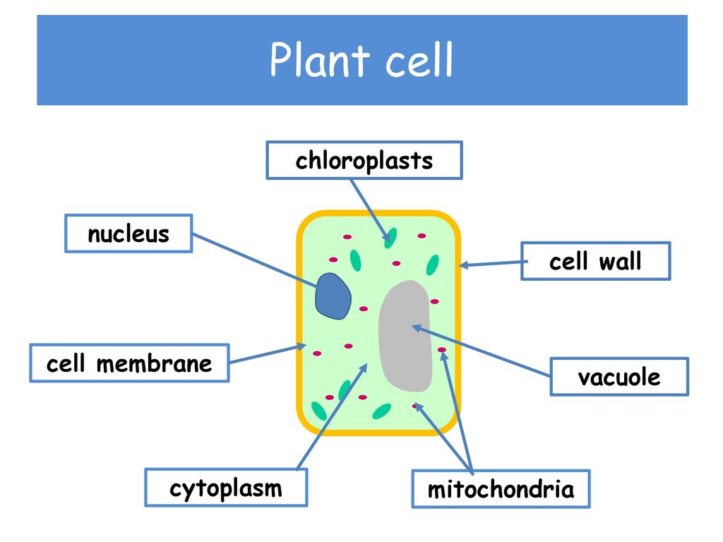 Vacuole In Animal Cell Diagram Load