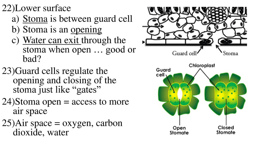 opening and closing of stomata pdf