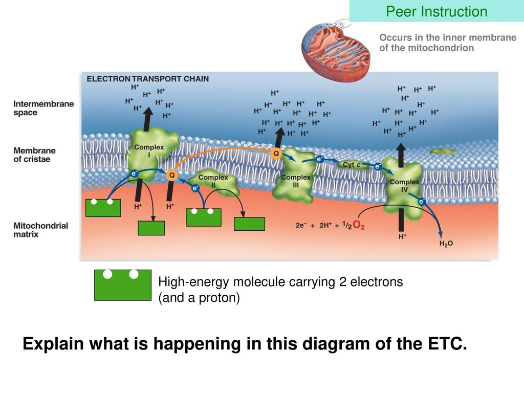Respiration big picture and the electron transport chain ppt download explain what is happening in this diagram of the etc ccuart Image collections
